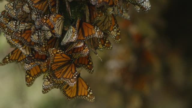 cu massed resting monarch butterflies on tree branch then tu - monarch butterfly stock videos & royalty-free footage