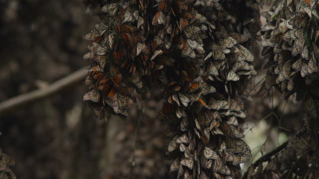 cu massed resting monarch butterflies on tree branch - monarch butterfly stock videos & royalty-free footage