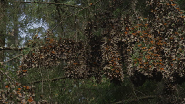 ms pan massed resting monarch butterflies on tree branches - farfalla monarca video stock e b–roll