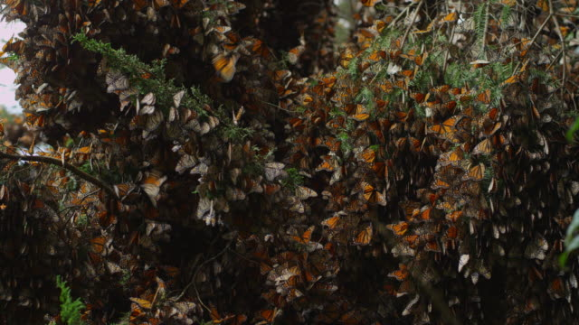 ms massed resting monarch butterflies on tree branches - farfalla monarca video stock e b–roll
