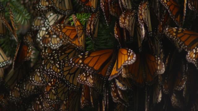 cu massed resting monarch butterflies on tree branches - farfalla monarca video stock e b–roll