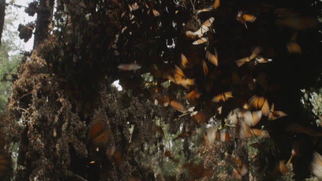 ms massed resting monarch butterflies on tree branches td with group take off in foreground - farfalla monarca video stock e b–roll