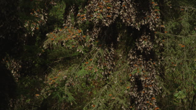 tu massed resting monarch butterflies on tree trunk and branches - farfalla monarca video stock e b–roll