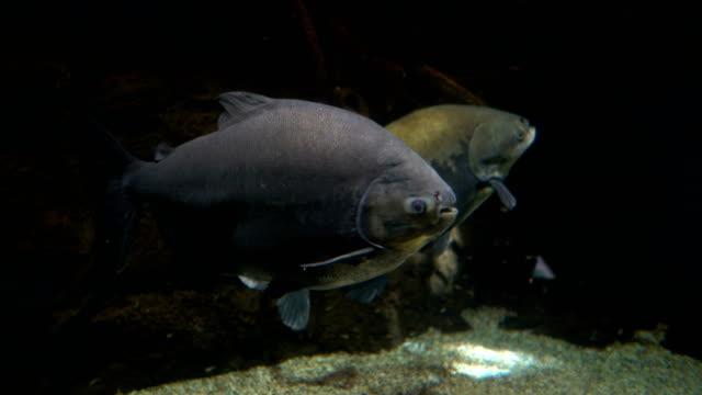 vídeos de stock e filmes b-roll de masses of fish - atum peixe