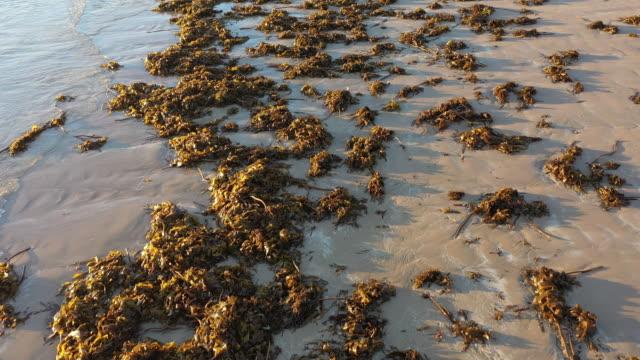 masses of sea weed. - seaweed stock videos & royalty-free footage