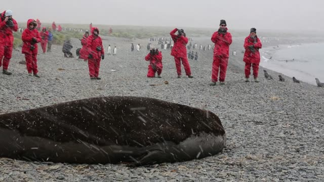 a massive bull beach master southern elephant seal mirounga leonina at jason harbour south georgia antarctica with tourists from an expedtion cruise... - südlicher seeelefant stock-videos und b-roll-filmmaterial
