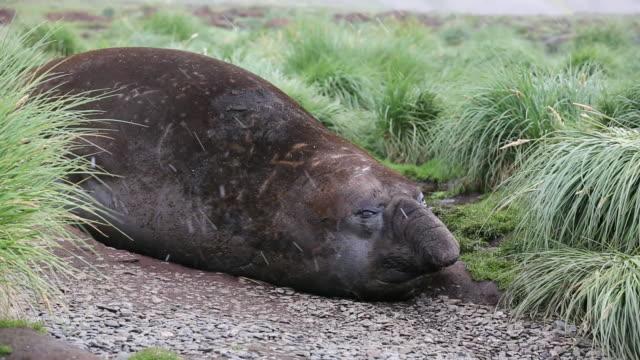 vídeos y material grabado en eventos de stock de a massive bull, beach master southern elephant seal; mirounga leonina, at jason harbour, south georgia, antarctica. - elefante marino del sur