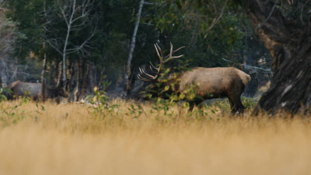 a massive bull elk walks through the trees, bugling as he watches his females. - hunting stock videos & royalty-free footage