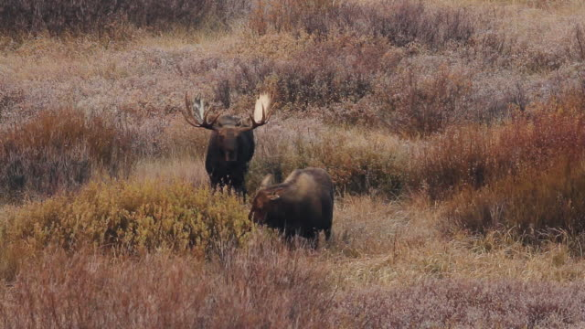 MS Massive bull moose in willows with cow during rut / Tetons, Wyoming, United States