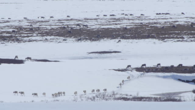 massive caribou herd marching in the distance - arctic national wildlife refuge stock videos & royalty-free footage