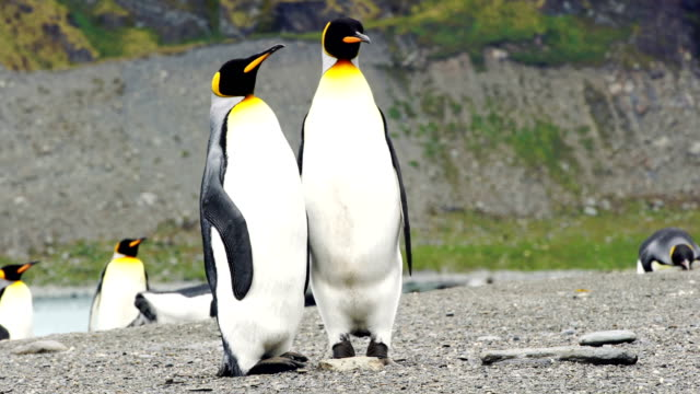 massive colony of king penguins stretches along a beach at south georgia island - thick stock videos & royalty-free footage