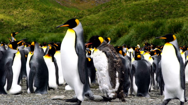 massive colony of king penguins stretches along a beach at south georgia island - drongo stock videos & royalty-free footage