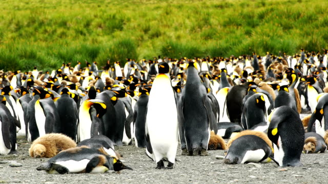 vídeos de stock e filmes b-roll de massive colony of king penguins stretches along a beach at south georgia island - colony
