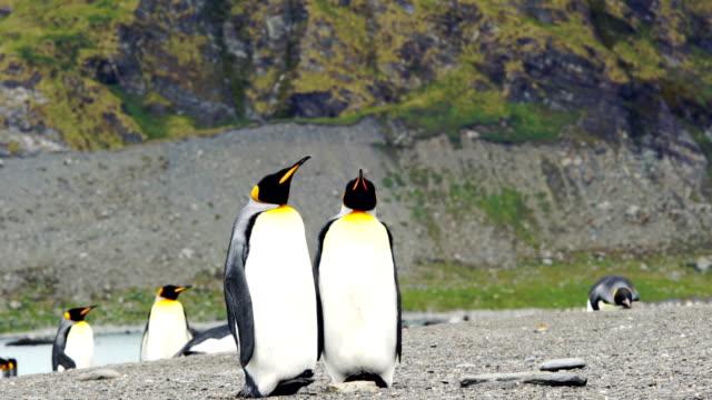 vídeos y material grabado en eventos de stock de gran colonia de pingüinos rey se extiende a lo largo de una playa en la isla de georgia del sur - pingüino cara blanca