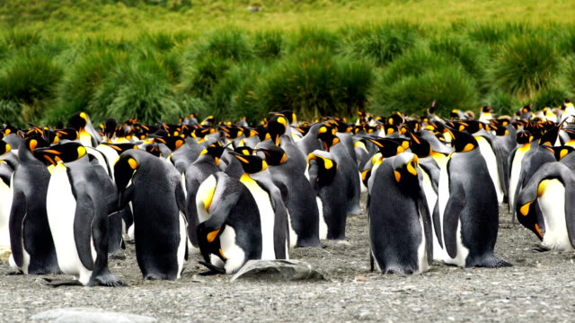 Massive colony of King Penguins stretches along a beach at South Georgia Island