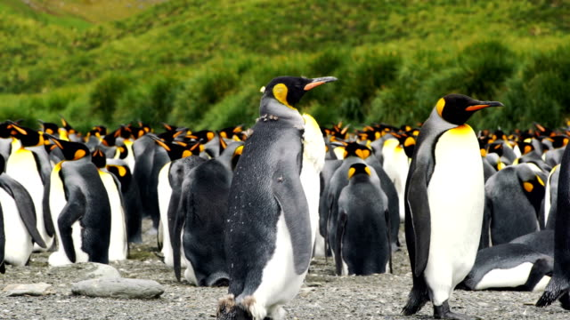 vídeos de stock e filmes b-roll de massive colony of king penguins stretches along a beach at south georgia island - ilha geórgia do sul