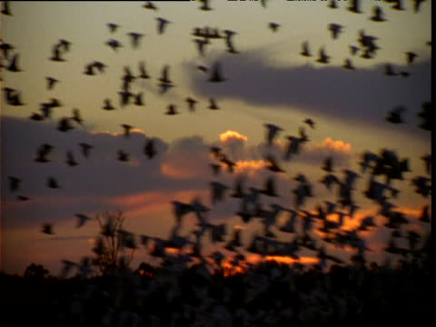 massive flock of little corellas fly past at dusk, new south wales, australia - silhouette stock videos & royalty-free footage