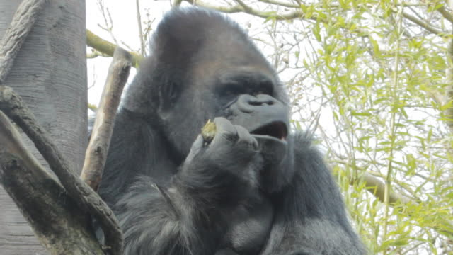 A massive gorilla sits in a tree, eating.
