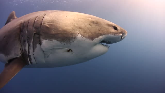 massive great white shark-full body-beautifully lit - 10 seconds or greater stock videos & royalty-free footage