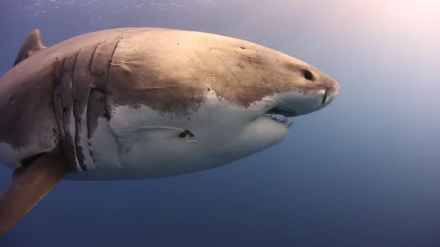 massive great white shark-full body-beautifully lit - 10秒以上点の映像素材/bロール