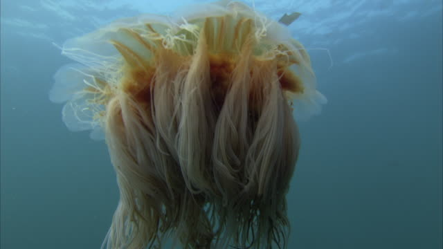 a massive jellyfish undulates near the surface of the ocean. - qualle stock-videos und b-roll-filmmaterial