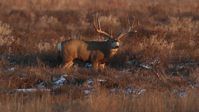 ms massive mule deer buck (odocoileus virginianus) scans the praire for does - mule stock videos & royalty-free footage