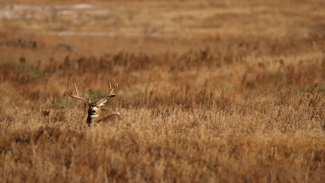WS massive mule deer buck (Odocoileus virginianus) scans the praire for does