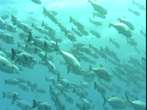 A massive school of fish glides through clear waters.