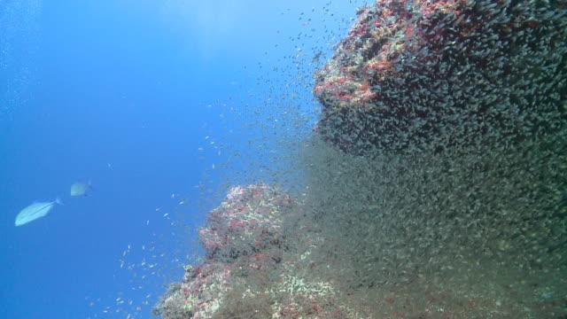 massive shoal of tiny fish, maamigili, south ari atoll, the maldives - ari atoll stock videos & royalty-free footage