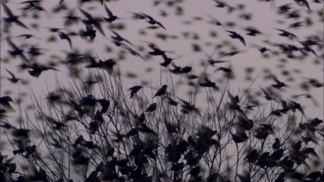 massive starling flock close up - perching stock videos & royalty-free footage