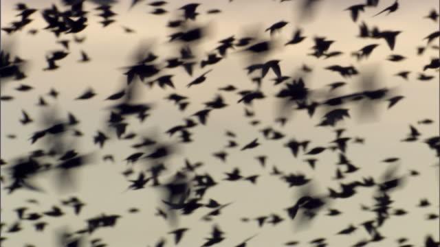 massive starling flock close up - ムクドリ点の映像素材/bロール