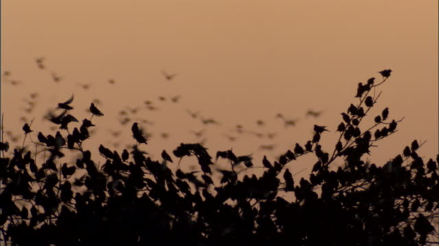 Massive starling flock close up