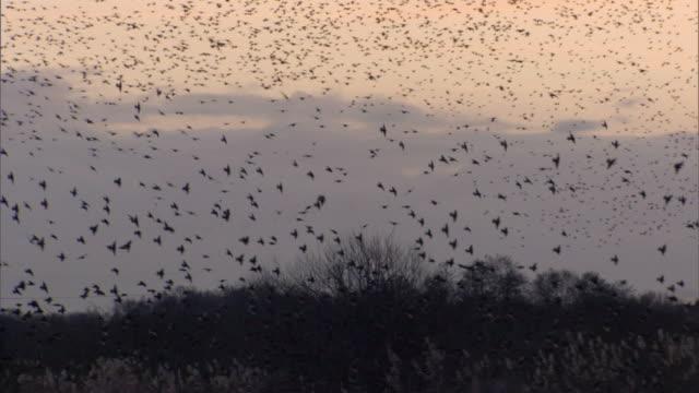 Massive starling flock mid shot