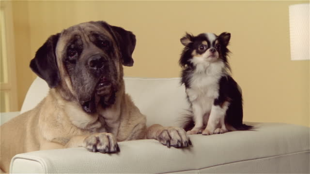cu, mastiff and long coat chihuahua on sofa - two animals stock videos & royalty-free footage