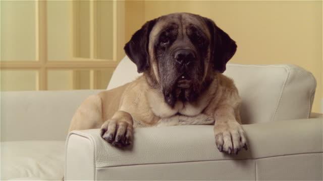 ms, mastiff lying on sofa - paw stock videos and b-roll footage