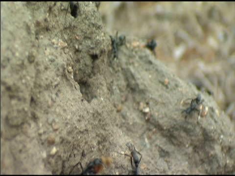 matabele ants raid termite mound - invertebrate stock videos & royalty-free footage