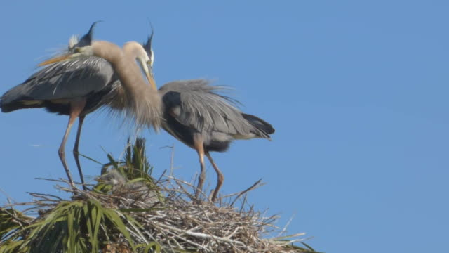 mated pair of great blue herons and their chick - djur som parar sig bildbanksvideor och videomaterial från bakom kulisserna