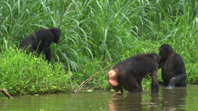 mating behavior of bonobos in tropical jungle riverside - chimpanzee stock videos & royalty-free footage