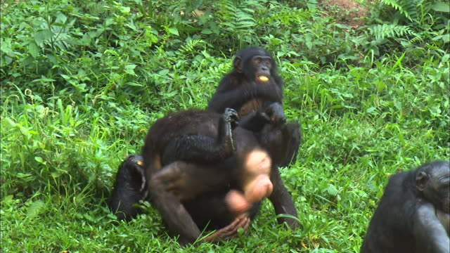 mating behaviors displayed between female bonobos in the bush of tropical jungle - tropical bush stock videos & royalty-free footage