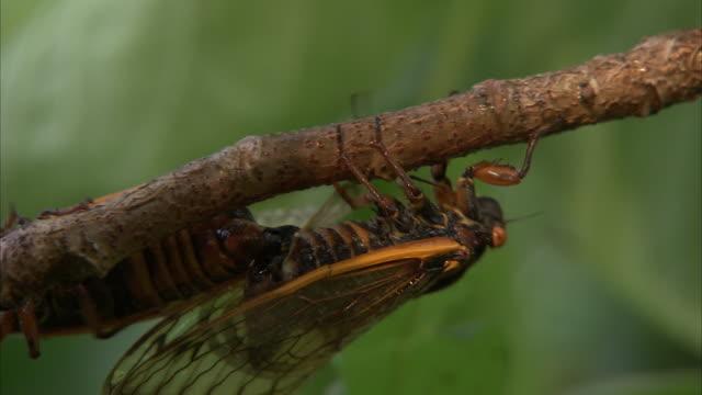 mating cicadas crawl along a slender branch. - gliedmaßen körperteile stock-videos und b-roll-filmmaterial