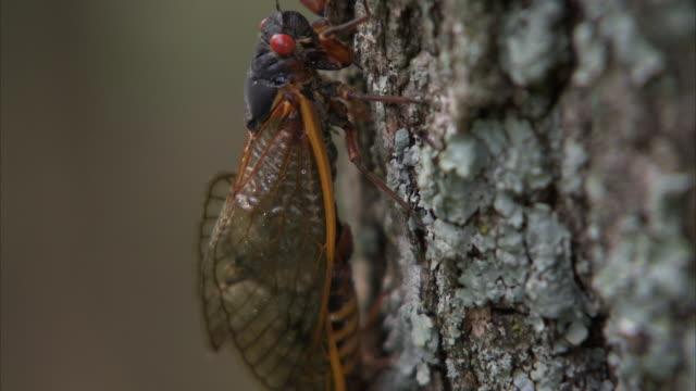 mating cicadas crawl up a tree trunk. - gliedmaßen körperteile stock-videos und b-roll-filmmaterial