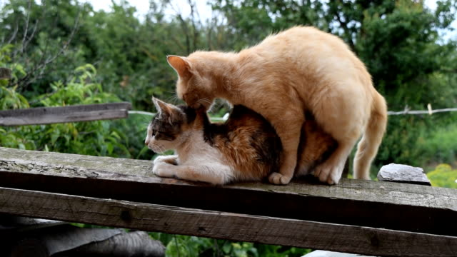 mating domestic cats - human copulation stock videos and b-roll footage