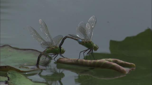 mating dragonflies lay eggs amongst water lilies, beijing. - 性と生殖点の映像素材/bロール