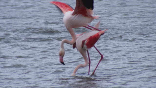 slomo mating greater flamingoes with demale feeding and male slides off  - djur som parar sig bildbanksvideor och videomaterial från bakom kulisserna
