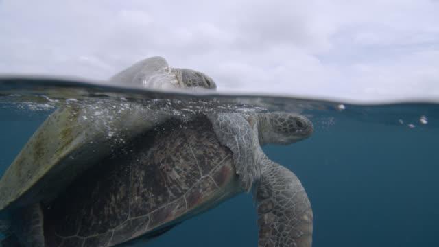mating green sea turtles (chelonia midas) at surface of blue ocean, sipadan, malaysia - green turtle stock videos & royalty-free footage