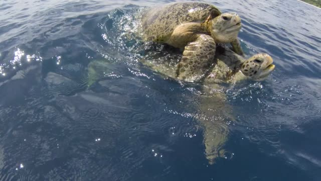 mating green sea turtles surface in ocean, malaysia - surfacing stock videos & royalty-free footage