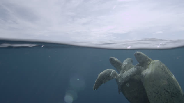 mating green sea turtles surface in ocean - green turtle stock videos & royalty-free footage