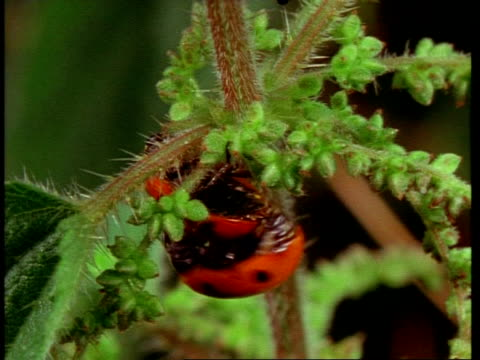 ms mating ladybird beetles, united kingdom - animal abdomen stock videos and b-roll footage
