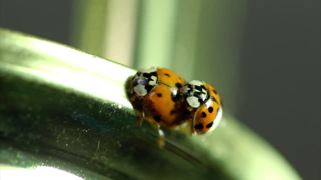 mating ladybugs hd - invertebrate stock videos and b-roll footage