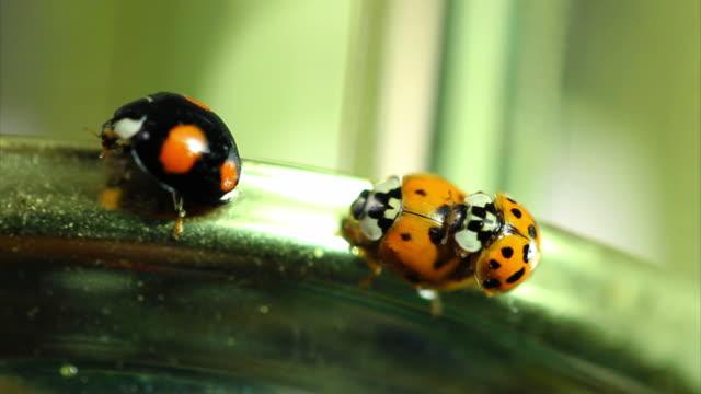 vídeos y material grabado en eventos de stock de ladybugs de inserción alta definición - grupo pequeño de animales